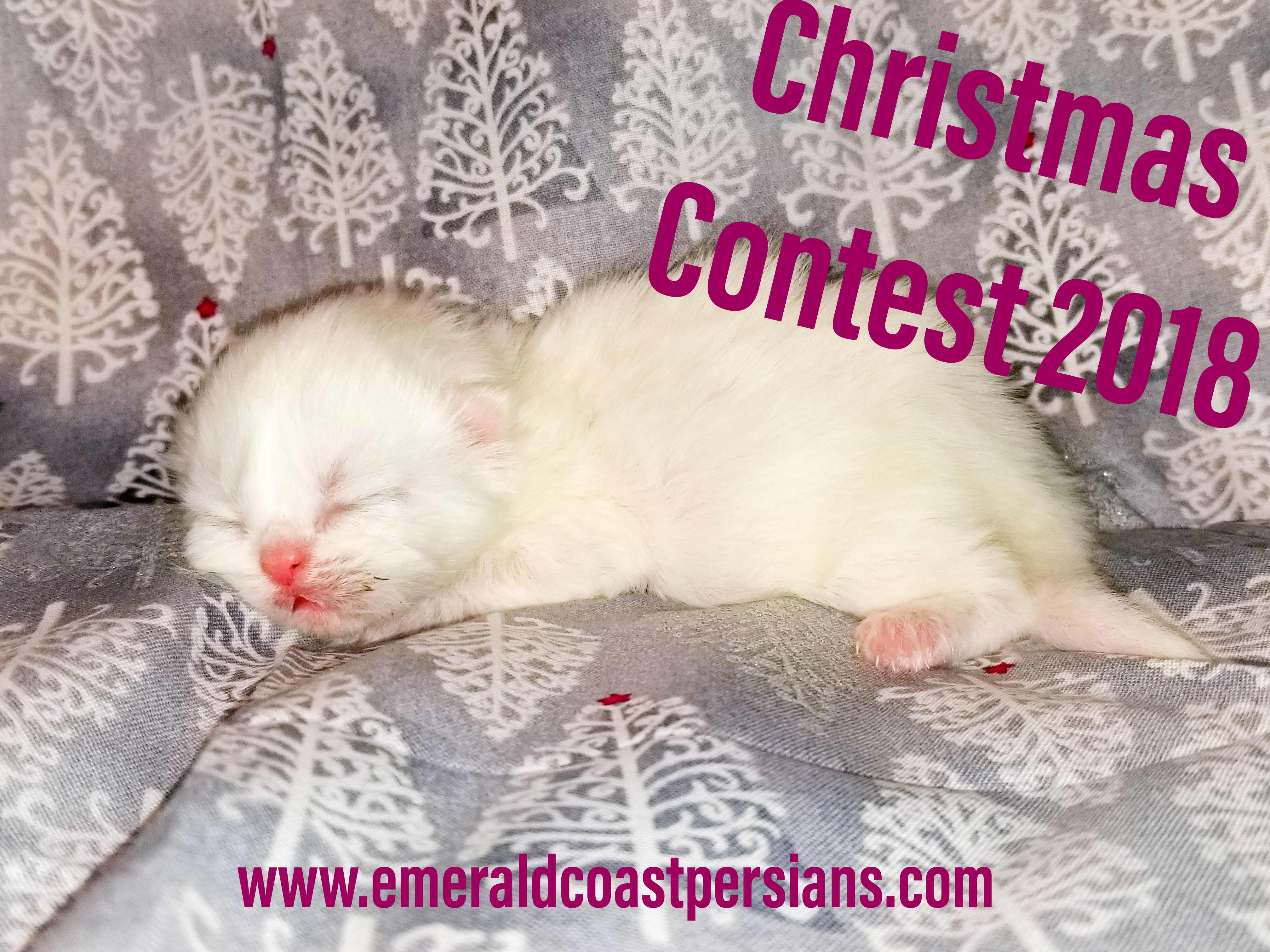 Emerald Coast Persians - Christmas Contest