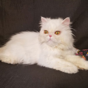 Emerald Coast Persians - Available Adults