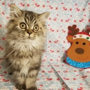 Victor- Persian kittens for sale