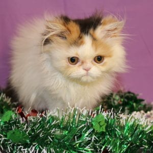 Calico Persian For Sale