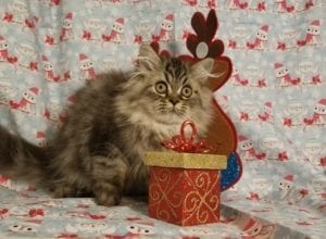 Victor Persian Kittens For Sale
