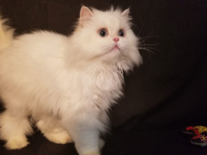Emerald Coast Persians - BlueBerry **SOLD!**