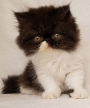 Emerald Coast Persians - Emilia**July Is Free Shipping To LAX**