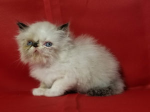 Emerald Coast Persians - Kat **July Is Free Shipping To LAX**