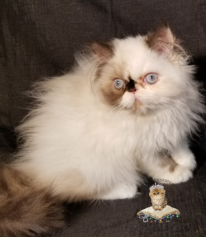 Emerald Coast Persians - Kat **August is Free Delivery for Texas**
