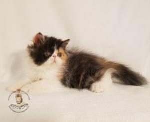 beautiful-persian-kittens-for-sale