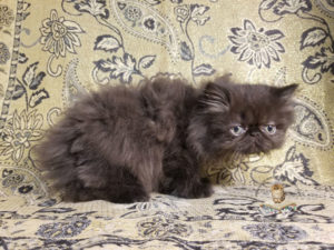 Emerald Coast Persians - Smudge **August is Free Delivery for Texas**