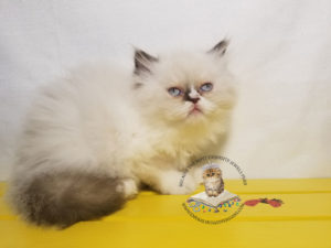 Emerald Coast Persians - Violet **August is Free Delivery for Texas**