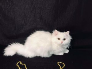 Emerald Coast Persians - Igloo **August is Free Delivery for Texas**