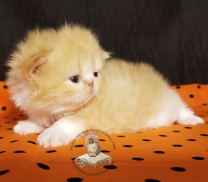 beautiful-persian-kittens-for-sale