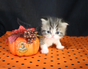 Emerald Coast Persians - KitKat** RSVP Now For Home for the Holidays**