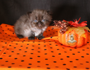 Emerald Coast Persians - Snickers **Chosen & Adopted**