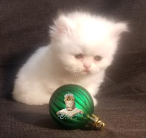 Emerald Coast Persians - Eggnog** RSVP Now For Home for the Holidays**