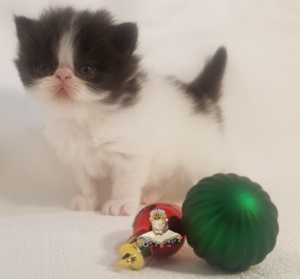 Emerald Coast Persians - Moo Baby** RSVP Now For Home for the Holidays**