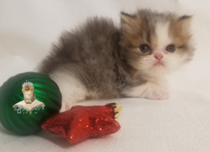 Emerald Coast Persians - Cinnabun** RSVP Now For Home for the Holidays**