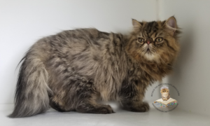 Emerald Coast Persians - Goliath ** RSVP Now For Home for the Holidays**