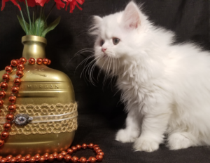 Emerald Coast Persians - Cupid **chosen & adopted 1/10**