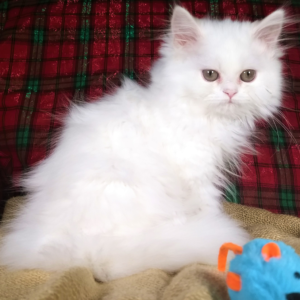 Emerald Coast Persians - Available Kittens | Beautiful Persians for sale