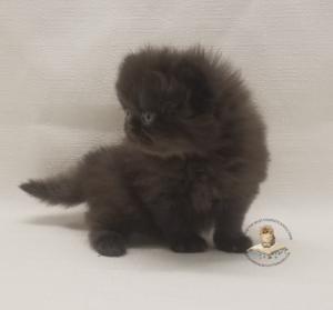 Emerald Coast Persians - Puma- Adopted 5-24