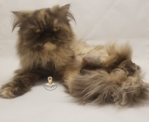 Emerald Coast Persians - ** Athena **