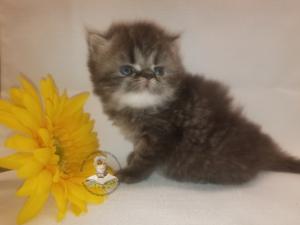 Emerald Coast Persians - Clover - Adopted 5/1