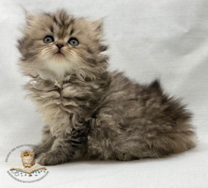 Emerald Coast Persians - Buttercup Adopted 6/27