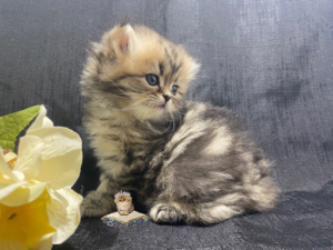 Emerald Coast Persians - June Bug Adopted 7/15